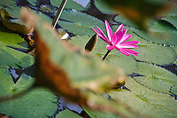 Nymphaea &quot;Rubra&quot; Waterlily in bloom at the National Botanical Garden of Belgium, in Meise.