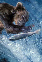 609682002 a wild brown bear ursus arctos fishes for wild spawning salmon at some falls in a fast flowing river in katmai national park alaska