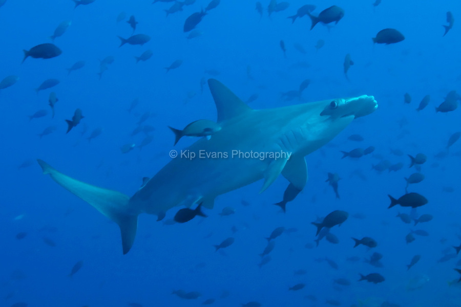 A scalloped hammerhead shark (Sphyma lewini) swims through a school of tropical fish at the Cocos Island off the coast of Costa Rica.