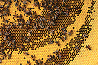The dance of the Apis Laboriosa, unlike that of our Apis mellifera, takes place on the outside of the hive, on the single comb. We observed the scout bees returning with information on fields for pollen and nectar gathering located more than 12 miles from the nest.