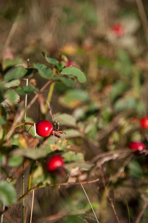Wild rose hips in the backcountry of Isle Royale National Park in Michigan USA.