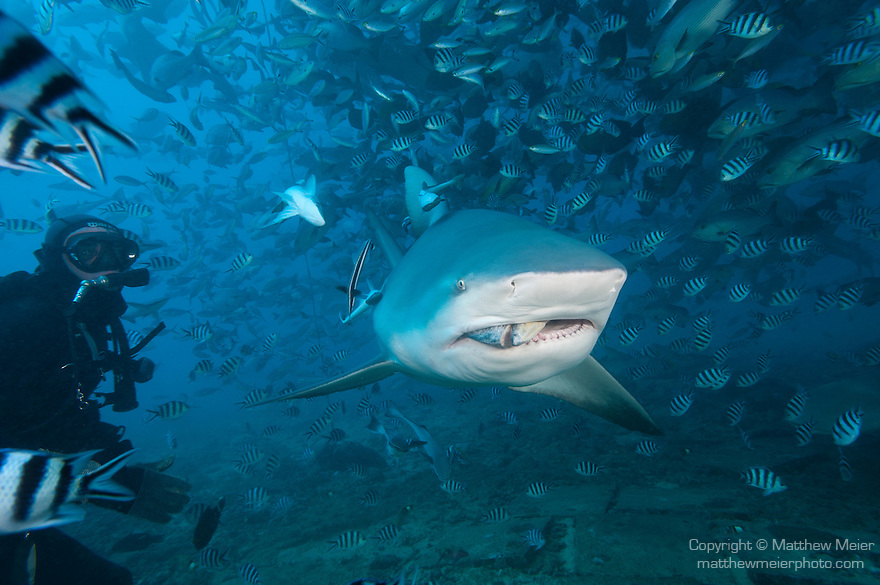 Beqa Lagoon, Pacific Harbor, Fiji; a Bull Shark feeding on a fish head as part of a shark feeding dive