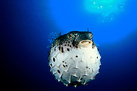 A member of the pufferfish family, the Pacific Burrfish, Chilomycterus affinis, can inflate itself when it feels threatened.  Mexico. Common Name Diodontidae Genus Chilomycterus Scientific Name fish fishes fugu