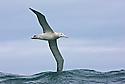 Wandering Albatross soaring over the waves in Kaikoura, New Zealand