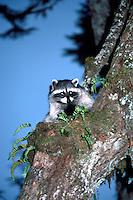 Wild Raccoon (Procyon lotor) climbing Tree Branch