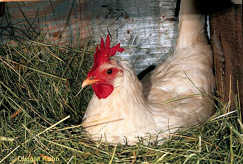 DG13-009b  Chicken - hen sitting on nest - White Leghorn