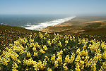 California: Yellow lupines at Point Reyes National Seashore near San Francisco. Photo copyright Lee Foster. Photo # casanf81224