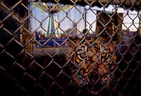 A bengal tiger behind chain link at the Tiger Photo Booth at the Brazoria County Fair in Angleton, Texas.