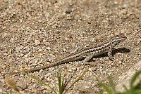 442690002 a wild western side-blotched lizard uta stansburiana elegans in the buttermilks near bishop owens valley inyo county california united states