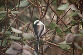 Staartmees - Long-tailed Tit - Aegithalos caudatus