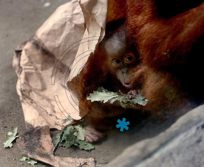 Pongoland Zoo Leipzig - MPI - im Bild: Oran-Utan - Batak (baby).  Foto: Norman Rembarz ..