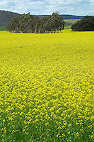 Canola crop in flower..For larger JPEGs and TIFF versions contact EFFECTIVE WORKING IMAGE via our contact page at : www.photography4business.com