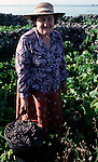 A woman stands with harvest grapes from their vineyard. The first step in centuries-old wine-making, grapes harvested in the fall, await to be transported from vineyard to winery.  (Jim Bryant Photo.....