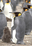 King penguins Aptenodytes patagonicus are the most stately,regal, and colorful,penguin.King are the second largest penguin species and are found predominately in the sub-Antarctic islands.