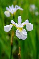 Iris Versicolor 'Between The Lines'