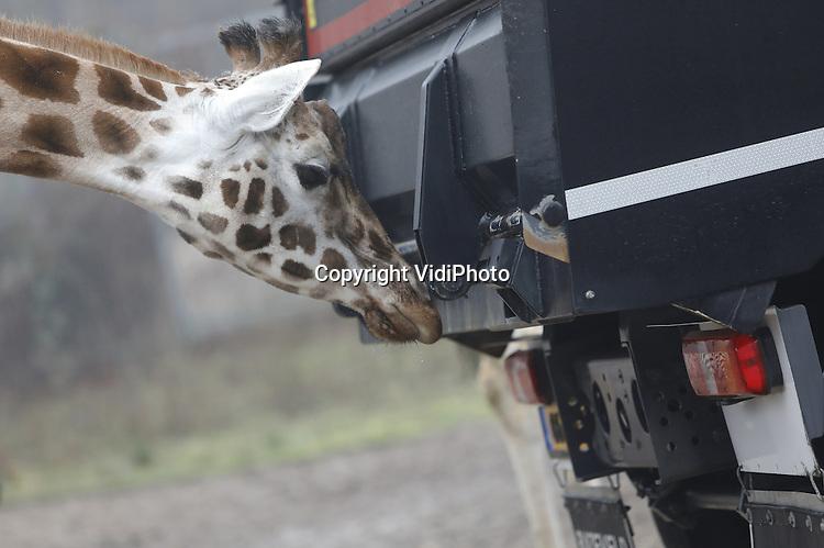 Foto: VidiPhoto<br /> <br /> ARNHEM &ndash; Voorzichtig proevenn de giraffen en zebra&rsquo;s van de enorme 50 ton zware vrachtwagen op de savannevlakte van Burgers&rsquo; Zoo in Arnhem. Vrachtwagenfabrikant Mercedes presenteerde daar dinsdag zijn gloednieuwe 50 ton zware en zeer geavanceerde Arocs. De asfaltauto, een vijfasser, is speciaal voor de Nederlandse markt gemaakt en is geschikt om kort op andere vrachtwagens te kunnen rijden. Het is een automaat die zich aanpast aan de snelheid van het andere verkeer. De truckchauffeur hoeft alleen nog maar te sturen. De safaridieren toonden in ieder geval veel interesse.