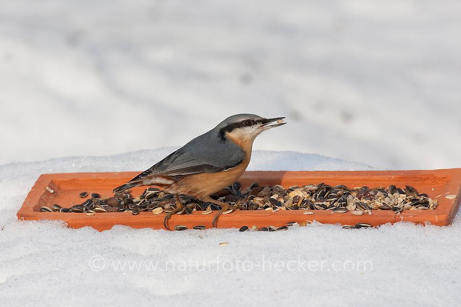 Kleiber, an der Vogelfütterung, Fütterung im Winter bei Schnee, frisst Körner am Boden aus einer Schale, Winterfütterung, Spechtmeise, Sitta europaea, Eurasian nuthatch