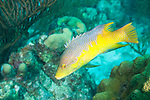 Bonaire, Netherlands Antilles; a Spanish Hogfish swims over the coral reef , Copyright © Matthew Meier, matthewmeierphoto.com All Rights Reserved