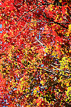 Red and yellow fall leaves in sunshine