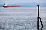 National Geographic Sea Lion's Columbia River Expedition in the Pacific Northwest, Oregon. A double crested cormorant dries its wings atop a piling in Astoria, Oregon as a freighter rests in the distance at the mouth of the mighty Columbia River.