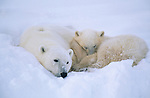 A polar bear and cub lay and sleep in the snow.