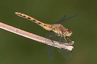 Cherry-faced Meadowhawk (Sympetrum internum) Dragonfly - Female, West Harrison, Westchester County, New York