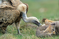 Griffon vulture; Gyps fulvus feeding on Roe deer, Canillo, Andorra