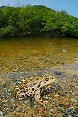 Marsh Frog (Rana kurtmuelleri in a rocky stream, Italy.