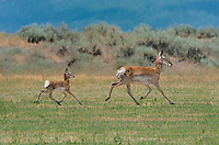 673080104 wild pronghorn antelope females and young antilocarpa americana wandering the grassland on ash creek wildlife management area modoc county california