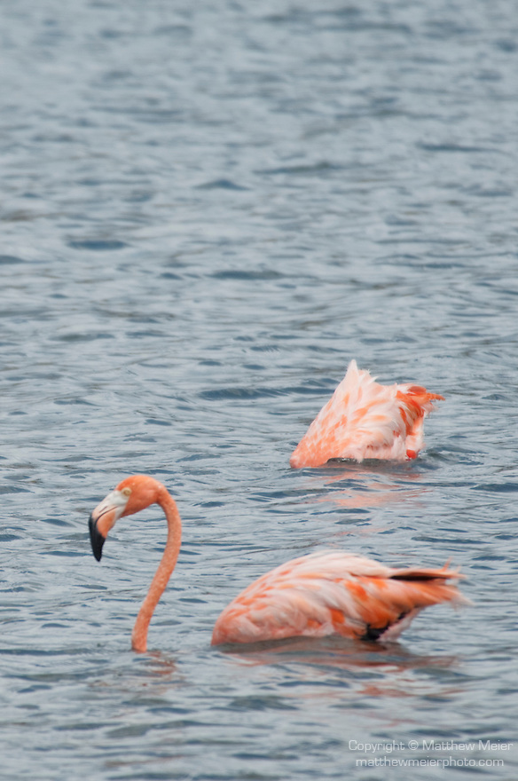 Washington Slagbaai National Park, Bonaire, Netherlands Antilles; American Flamingo (Phoenicopterus ruber) birds , Copyright © Matthew Meier, matthewmeierphoto.com All Rights Reserved