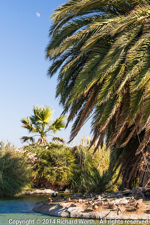 A gibbous moon floats in a blue afternoon sky, next to a massive palm tree in the pond of  an urban park.
