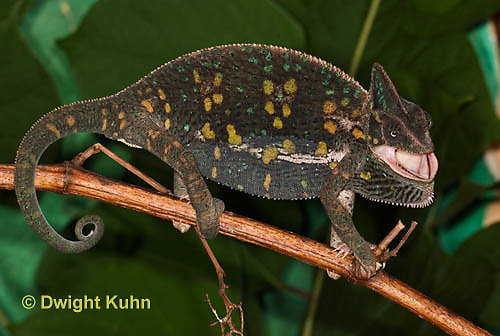 CH39-509z  Female Veiled Chameleon in display colors, Chamaeleo calyptratus