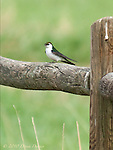 Violet-green swallow rests on fence, spring