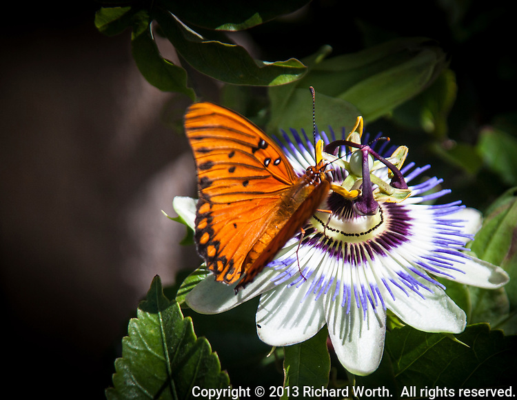 An orange butterfly on a bluecrown passionflower.  Serendipity in the neighborhood.