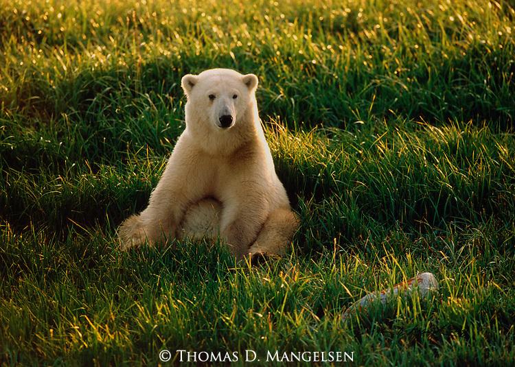 A polar bear sits in grass in Wapusk National Park, Manitoba, Canada.