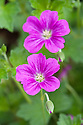 Geranium riversleaianum 'Russell Prichard', early August.