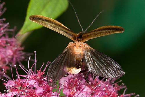 1C24-505z  Firefly Adult - Lightning Bug - Flying from flower - Photuris spp.