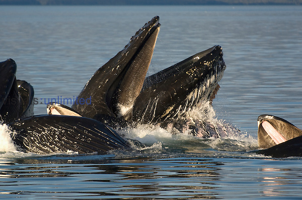 Humpback Whale (Megaptera novaeangliae) lunge feeding for herring after bubble netting.