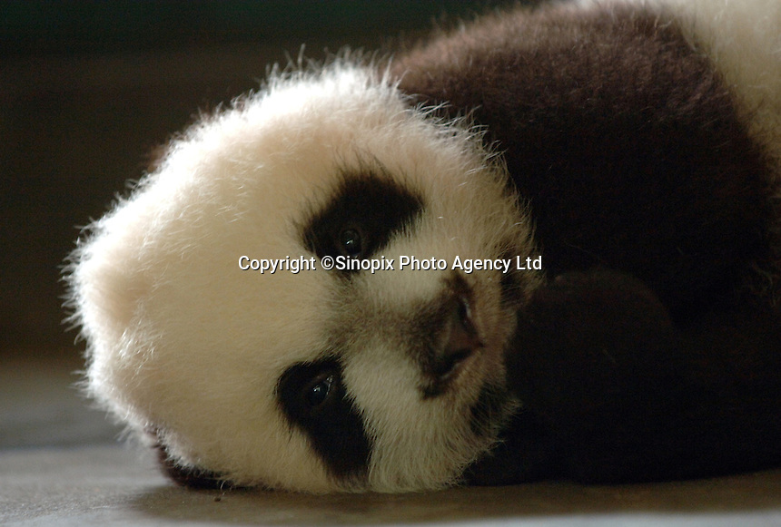 Xiao Ya, progeny of Ya Ya born 19th August 2006 at the panda nursery facility at the Chengdu Giant Panda and Research Base in Chengdu, China.  Ya Ya is currently the number one breeding mother and has had a total of eleven cubs.  An unprecedented 26 panda cubs were born in China in 2006, the advances are put down to scientific breeding practice and changes in the diet.