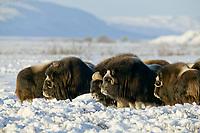 Bull Muskoxen on the snow covered tundra of Alaska's Arctic Coastal Plain.