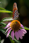 A gulf fritillary butterfly sips from a coneflower in a butterfly garden near the Ibis Pond on Pinckney Island.