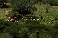 A herd of giraffe, runs in the Bandingalio National Park part of the Boma-Jonglei Landscape, home to some of the most spectacular and important wildlife populations, including  perhaps the largest wildlife migration in the world. An annual migration of small  antelope called the white-eared kob may rival the famous wildebeest migration of the Serengeti in neighboring Kenya and Tanzania.  (PHOTO: MIGUEL JUAREZ LUGO)