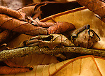 A Caterpillar mimics a dead leaf to avoid becoming prey on Barro Colorado Island, Colon, Peru.