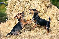 Black and tan Jack Russell puppies fighting on a bed of hay, England, United Kingdom