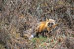 Cross Fox with ptarmigan, Kongakut River region, Alaska