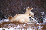 Polar bear rolls on his back in the snow, Canada.