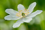 Wood Anemone, Anemone nemorosa, Kent, UK