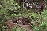 Gray wolf pups at den entrance, Tok Junction, Alaska