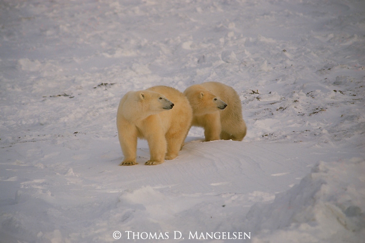 Polar bear twins stand together in the snow at Hudson Bay, Churchill, Manitoba, Canada.