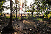 A buffalo grazing in the fields in Kwin Sekhan Villagein Pyapon district of Myanmar.